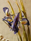 Ikebana with irises. Dried iris bouquet on the background of  textile Royalty Free Stock Photos