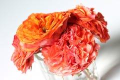 Iklädd satäng - färgglade rosor för dig - tätt upp på vitt royaltyfri bild