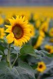 Ikonenhafte Sonnenblumenernte in Queensland, Australien Lizenzfreies Stockfoto