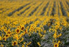 Ikonenhafte Sonnenblumenernte in Queensland, Australien Lizenzfreie Stockfotos