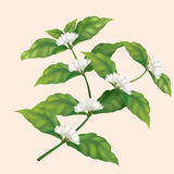 Ikonenkaffeebaumast mit Blumen Lizenzfreies Stockfoto