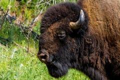 Ikonowy Dziki Zachodni symbol Amerykański żubr lub bizon -, Fotografia Stock