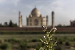 Ikonowy widok Taj Mahal jeden Światowi cudy, Agra, India Fotografia Royalty Free