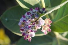 """Il †""""AKDA, Asclepiadaceae di Aakban di AAK fiorisce fotografia stock libera da diritti"""