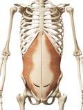 Il abdomini transversus Fotografie Stock