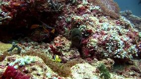 Il actinia dell'anemone e della murena con il pagliaccio pesca underwater su fondale marino video d archivio