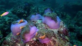 Il actinia dell'anemone ed il pagliaccio arancio intelligente pescano sul underwater del fondale marino delle Maldive stock footage