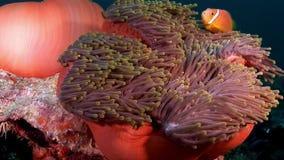 Il actinia dell'anemone ed il pagliaccio arancio intelligente pescano sul underwater del fondale marino delle Maldive video d archivio