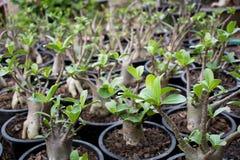 Il adenium di Arabicum è sulla crescita Immagini Stock Libere da Diritti