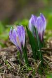 Il albiflorus viola di vernus del croco del croco della molla della fioritura fiorisce Fotografia Stock Libera da Diritti