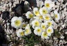 Il alpinum alpino bianco del papavero del papavero fiorisce nel parco nazionale di Triglav in Slovenia Immagini Stock