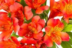 Il alstroemaeria arancio rosso fiorisce il fondo Immagine Stock Libera da Diritti