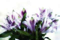 il alstroemeria fiorisce il fondo di bianco del mazzo Fotografia Stock