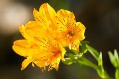 Il Alstroemeria fiorisce in giglio peruviano giallo, o in giglio della I Fotografia Stock Libera da Diritti