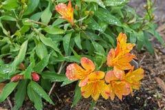 Il Alstroemeria fiorisce (giglio peruviano, o giglio delle inche) dentro o Fotografie Stock
