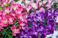 Il Alstroemeria fiorisce il fondo Immagine Stock