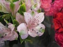 Il Alstroemeria o il giglio peruviano o il giglio delle inche fioriscono Fotografia Stock Libera da Diritti