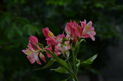 Il alstroemeria rosa fiorisce nello sfondo naturale verde Immagini Stock Libere da Diritti