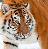 Il altaica del Tigri della panthera della tigre siberiana Immagine Stock Libera da Diritti