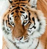 Il altaica del Tigri della panthera della tigre siberiana Immagini Stock Libere da Diritti