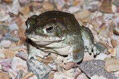 Il alvarius di Incilius del rospo del fiume Colorado, il rospo del deserto di Sonoran, è un rospo psicoattivo trovato nel Messico fotografie stock
