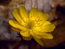 Il amurensis del Adonis del fiore della sorgente Fotografia Stock Libera da Diritti