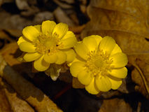 Il amurensis del Adonis del fiore della sorgente Fotografie Stock Libere da Diritti