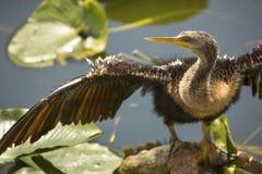 Il anhinga giovanile sta con le ali distese nel ` la s Evergl di Florida Immagine Stock