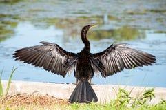 Il Anhinga largamente ha spanto le ali che si asciugano in sole a Taylor Park Immagini Stock