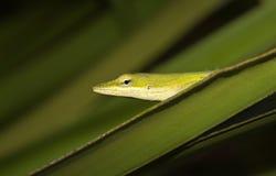 Il anole verde (carolinensis di anolis) dentro ha visto il palmetto Immagini Stock