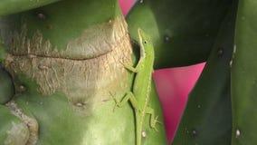 Il anole verde nordico su un cactus in Florida stock footage