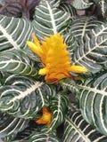 Il Aphelandra Squarrosa è conosciuto come la pianta della zebra fotografia stock
