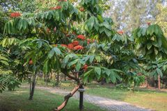 Il asoca variopinto Saraca fiori indica di Ashoka o di Linn di Saraca sboccia fotografia stock