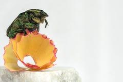 Il aurata di Cetonia si siede su una rasatura da una matita di colore Fotografia Stock Libera da Diritti