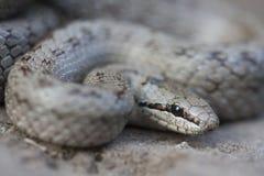 Il austriaca liscio di Coronella del serpente è specie non velenose di un colubrid trovate nordico ed in Europa centrale, ma anch immagini stock libere da diritti