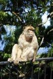 Il babbuino della Gibilterra Fotografie Stock Libere da Diritti