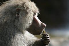 Il babbuino di Hamadryas sta mangiando Fotografie Stock