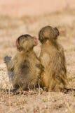 Il babbuino sveglio del bambino si siede in erba marrone che impara circa la natura che t Immagini Stock Libere da Diritti