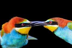 Il bacio degli uccelli colorati è isolato su un fondo nero Fotografia Stock