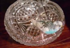 Il badgie blu si siede su un vaso a cristallo Immagini Stock Libere da Diritti