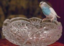Il badgie blu si siede su un vaso a cristallo Immagini Stock