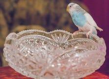 Il badgie blu si siede su un vaso a cristallo Fotografia Stock Libera da Diritti
