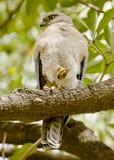 Il badius del Accipiter di shikra Immagini Stock