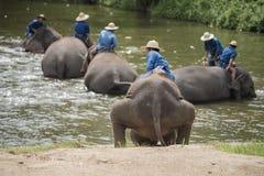 Il bagno dei Mahouts e pulisce gli elefanti nel fiume Fotografia Stock
