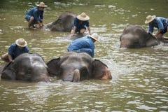 Il bagno dei Mahouts e pulisce gli elefanti nel fiume Fotografia Stock Libera da Diritti