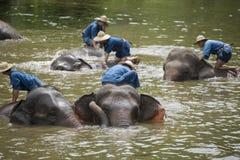 Il bagno dei Mahouts e pulisce gli elefanti nel fiume Immagini Stock Libere da Diritti