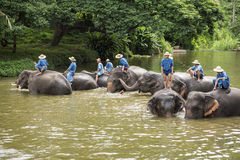 Il bagno dei Mahouts e pulisce gli elefanti nel fiume Immagine Stock
