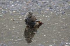 Il bagno dell'uccello Fotografia Stock Libera da Diritti