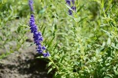 Il baicalensis di Scutellaria ha chiamato lo zucchetto di Baikal immagini stock libere da diritti