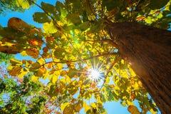 Il baldacchino degli alberi alti che incorniciano un chiaro cielo blu Fotografie Stock